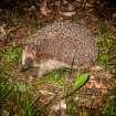 040510, Hökarängen, Hedgehog