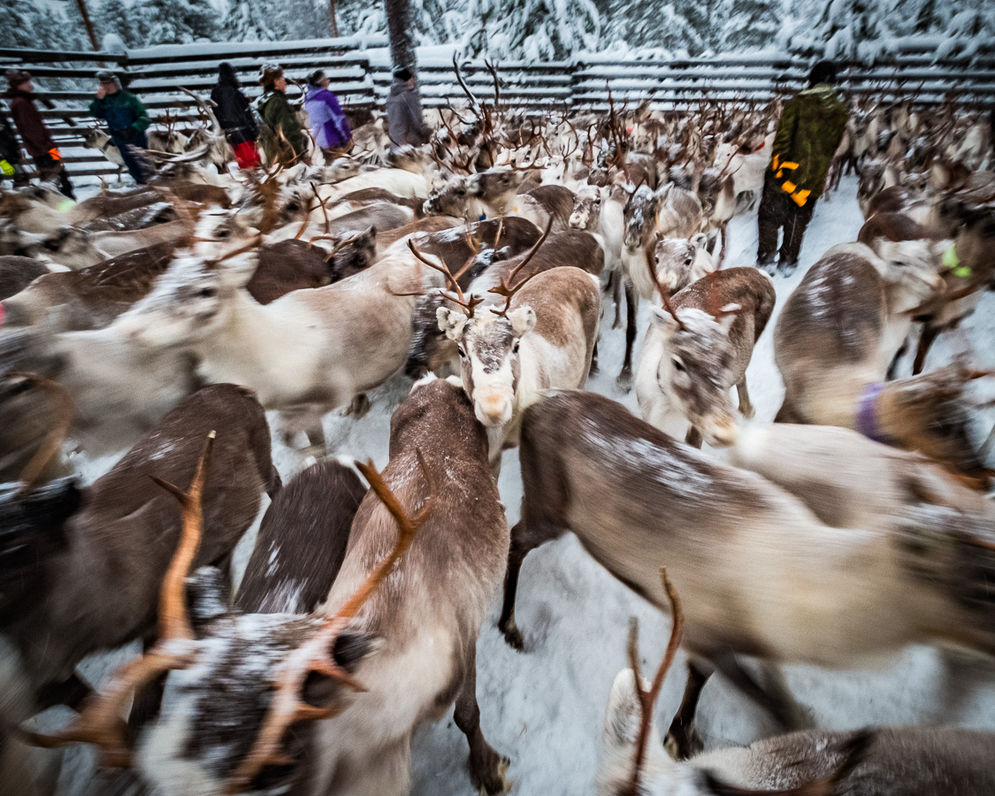 060118, Finland, Savukoski, Reindeer, Lappland, Hotelli Samperin Savotta