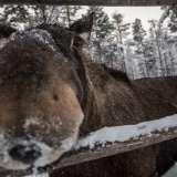 080114, Vittangi, Älgpark/Elchpark, Photo: ©Rostam Zandi.