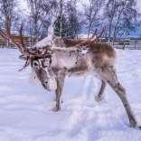 110117, Jukkasjärvi, Lappland, Norrbotten, Nutti Sami Siida, Photo: Rostam Zandi