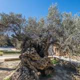150216, Ancient Olive Tree, Crete, Greece, Photo: Rostam Zandi.
